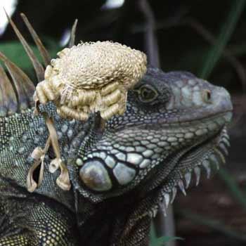 Iguana Lawyer