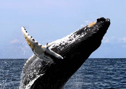 20080208-Humpback-by-Whit-Welles-from-Wickimedia-Commons